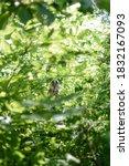 Hidden Owl In Leaf Trees