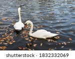 White Swans Swim In The Lake I...