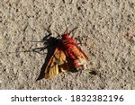 A Lifeless Dead Red Butterfly...