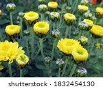 Buds Of Yellow Chrysanthemum...