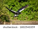 Spurwing Goose Taking Off With...