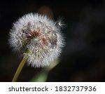 Fluffy White Dandelion Seed...