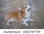 portrait of happy pembroke... | Shutterstock . vector #1832787739