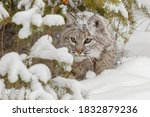 Bobcat In Deep Snow. Usa  North ...