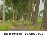 Dirtroad Lined With Poplar...