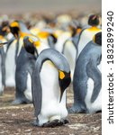 Small photo of Egg being incubated by adult while balancing on feet. King Penguin on Falkland Islands.