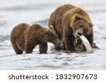 Brown bear fishing for salmon with a cub, Silver Salmon Creek, Lake Clark National Park, Alaska.