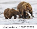Brown bear fishing for salmon with a cub, Silver Salmon Creek, Lake Clark National Park, Alaska.
