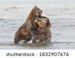 Brown bears fighting over a salmon, Silver Salmon Creek, Lake Clark National Park, Alaska.