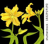 Vector Drawing. Day Lily....
