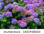 Hydrangea Or Hortensia Plant...