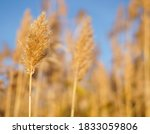 Dry Reed On The Lake  Reed...