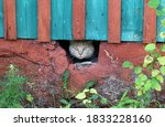 Scared Ginger Cat Peeks Out Of...