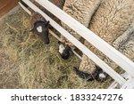 Three Docile Sheep Sticking...
