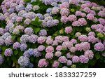 Flowers Background. Hydrangea...