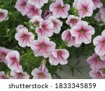 Wave Pink Cascade Color  Family ...