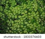 Small photo of Adiantum capillus-veneris, the Southern maidenhair fern, black maidenhair fern, maidenhair fern, and venus hair fern, is a species of ferns in the genus Adiantum. It is a garden and houseplant.