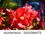 Red Begonia Flowers Blooming In ...