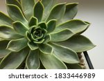 Succulent In Garden   Green...