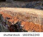 Pine Cutaway. Pine Stump In...