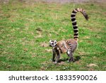 Lemur Standing On The Grass An...