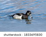 A Ring Necked Duck With A...