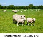 Sheep With Lambs At A Pasture...