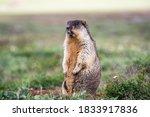 The Alpine Marmot  Marmota...