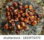 Fresh Chestnuts On A Tree Stump.