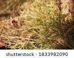 Partially Dried Bleached Grass...