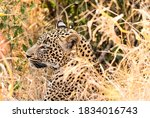 African Leopard lying in long grass in a South African Wildlife reserve - stock photo