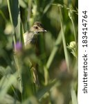Small photo of great reed warbler, [Acrocephalus arundinaceus]