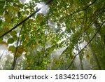 Wet Linden Tree Leaves In...