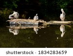 Three Pelicans Rest During The...