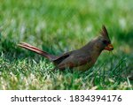 Female Northern Cardinal Bird...