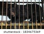 Bear Behind Bars. Wild Bear In...