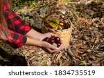Woman Holding Chestnuts For...