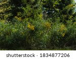 A Field Of Yellow Wildflowers...