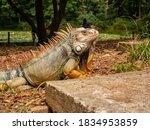 Green Iguana With Yellow Paws...
