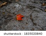 A Single Fallen Maple Leaf Has...