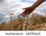 hand in wheat field   Shutterstock . vector #18350623