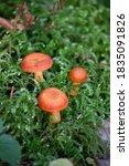 Milkweed Is A Mushroom Of The...