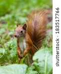 close up of a red squirrel in... | Shutterstock . vector #183517766