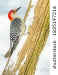 Small photo of A male Red-bellied Woodpecker is clinging to a snow covered fence post in winter. Lynde Shores Conservation Area, Whitby, Ontario, Canada.