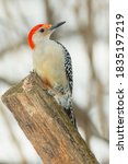 Small photo of A male Red-bellied Woodpecker is perched on a rotting old fence post in winter looking up. Lynde Shores Conservation Area, Whitby, Ontario, Canada.