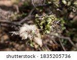 Sheep Wool Sticked On Thornbush