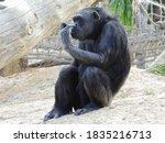 A Chimpanzee Sitting On The...