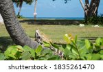 Green Iguana Sunbathing On Palm ...