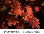 Maple Leaves In Red  Orange An...