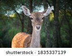 A Fallow Deer Grazes During The ...